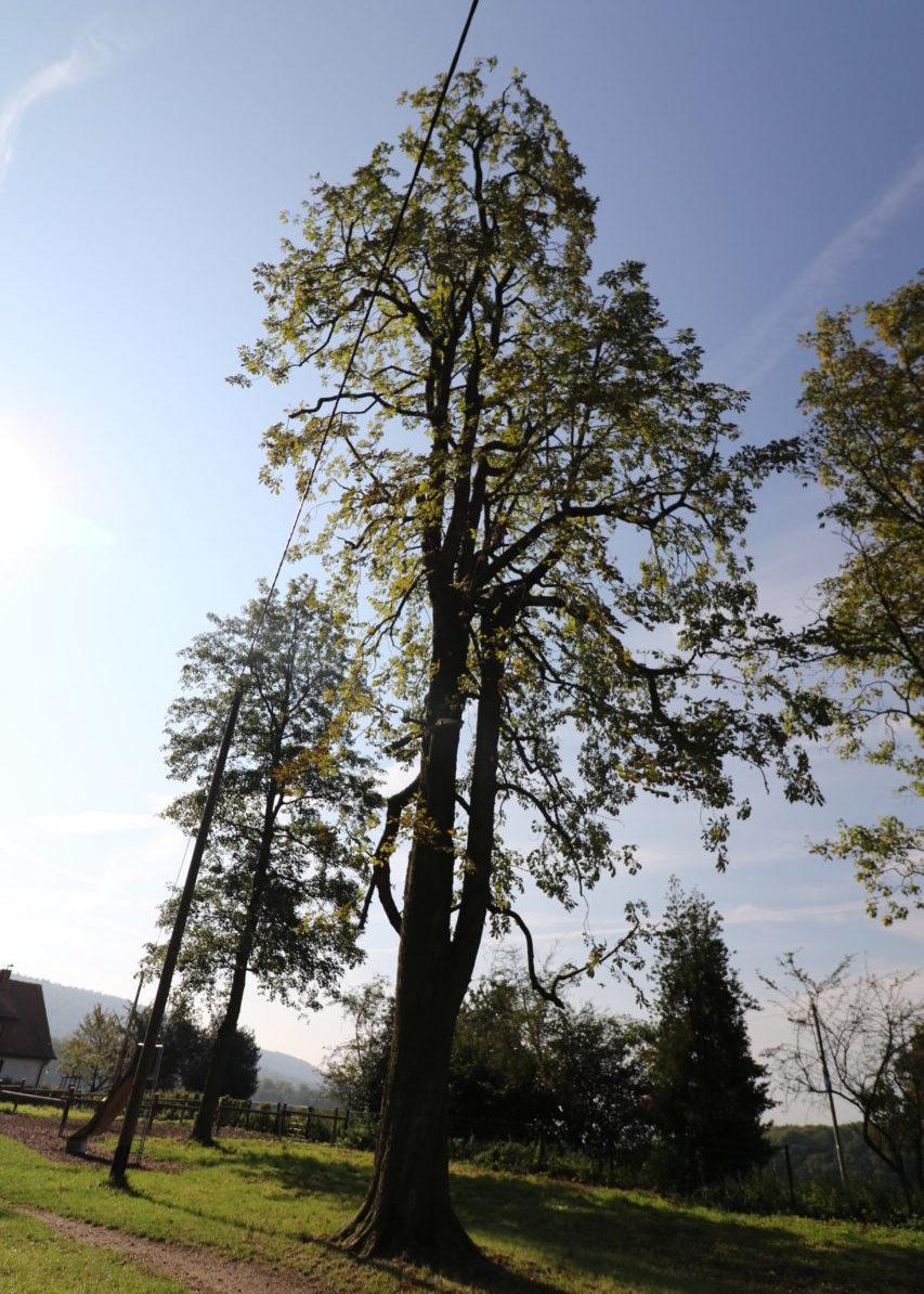 Hoher Baum im Sonnenuntergang