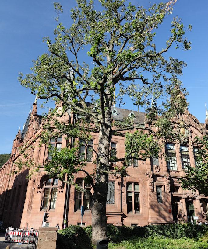 Baum vor einem roten Sandsteinhaus in Heidelberg