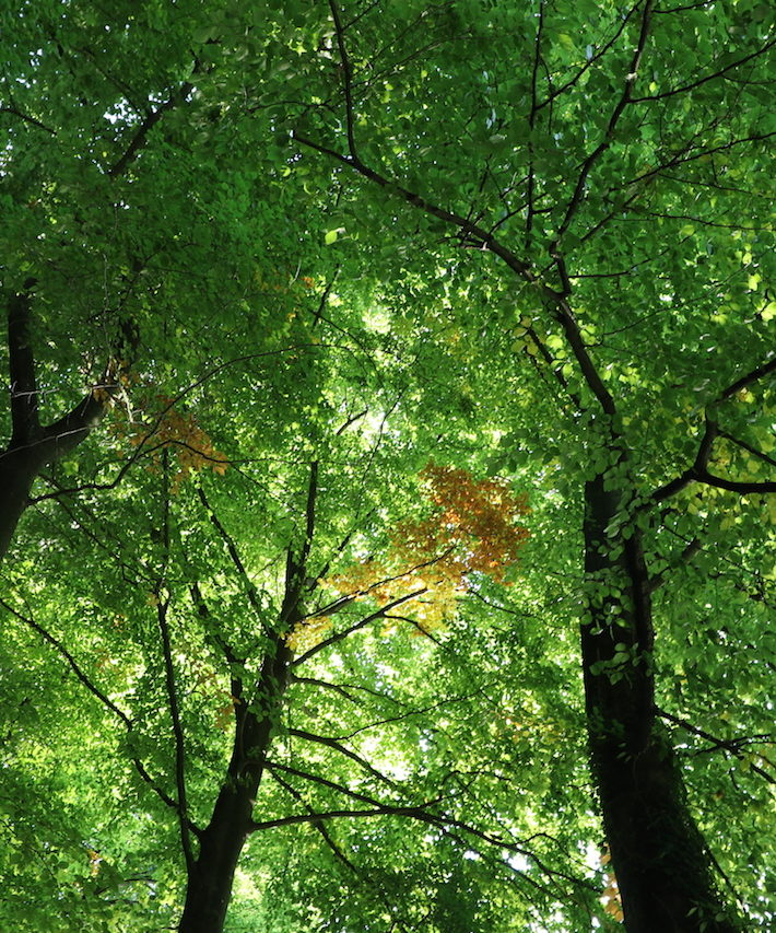 bild nach oben auf die grüne Baumkrone