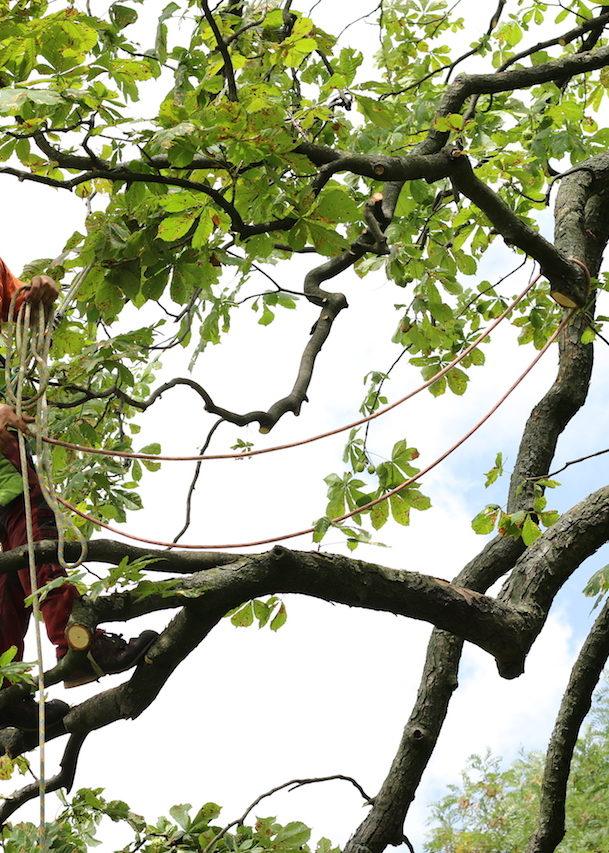 Forstarbeiter auf der Baumkrone sichert den Ast mit einem Seil